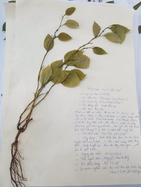 tiêu bản thực vật khô
