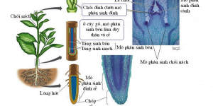 Sinh trưởng và phát triển ở thực vật