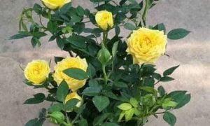 tả hoa hồng